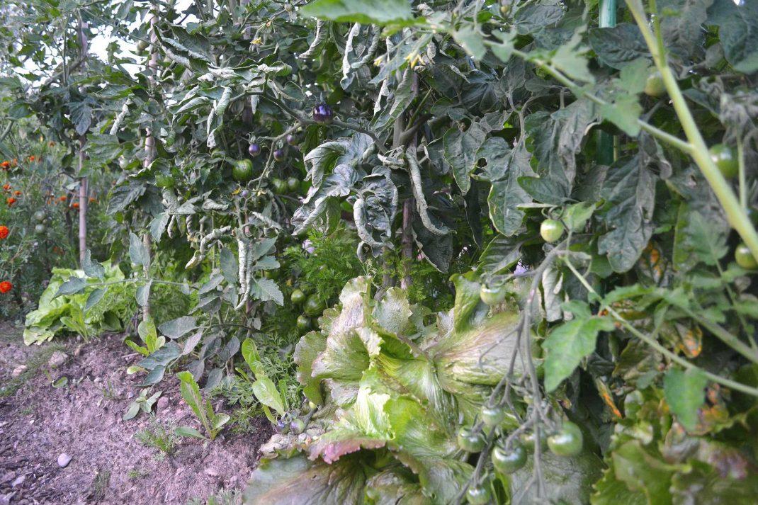 Höga tomatplantor och under dem växer huvudsallat. Tall tomato plants and lettuce.