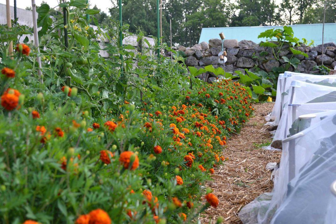 Tagetes ramar in tomatplantor i en djupbädd.
