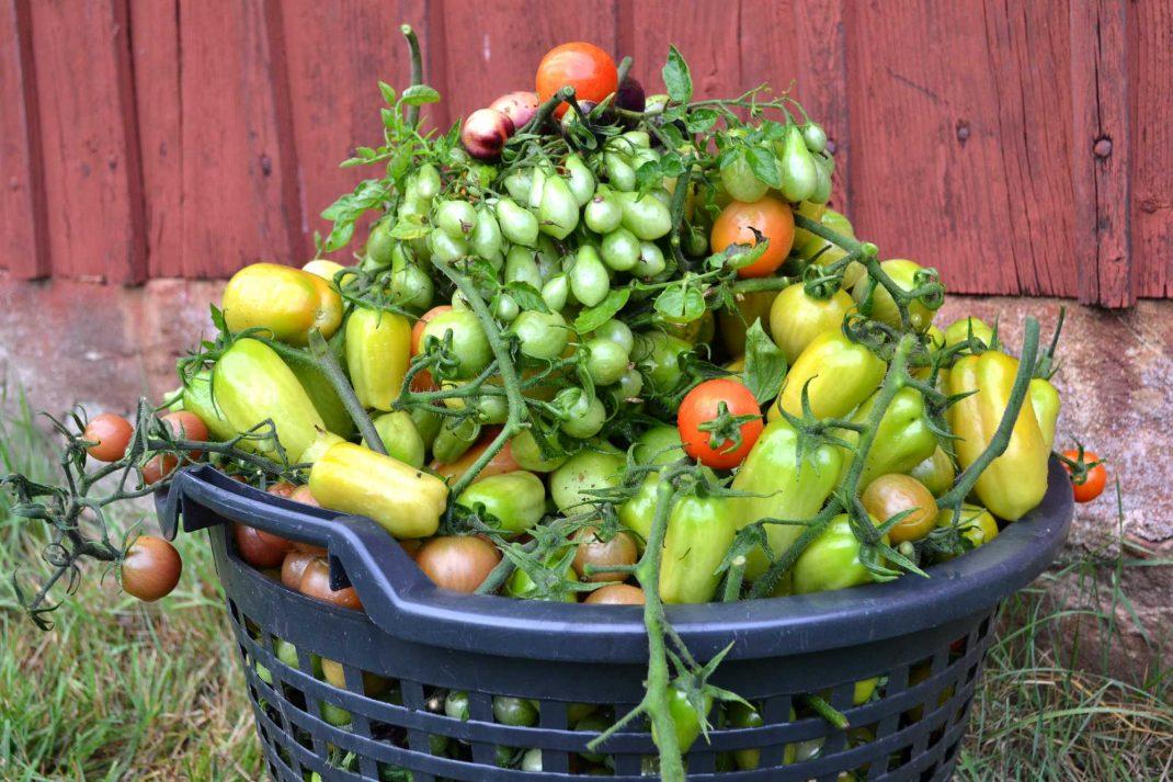 En trädgårdskorg överfull av tomater, A basked full of tomatoes.