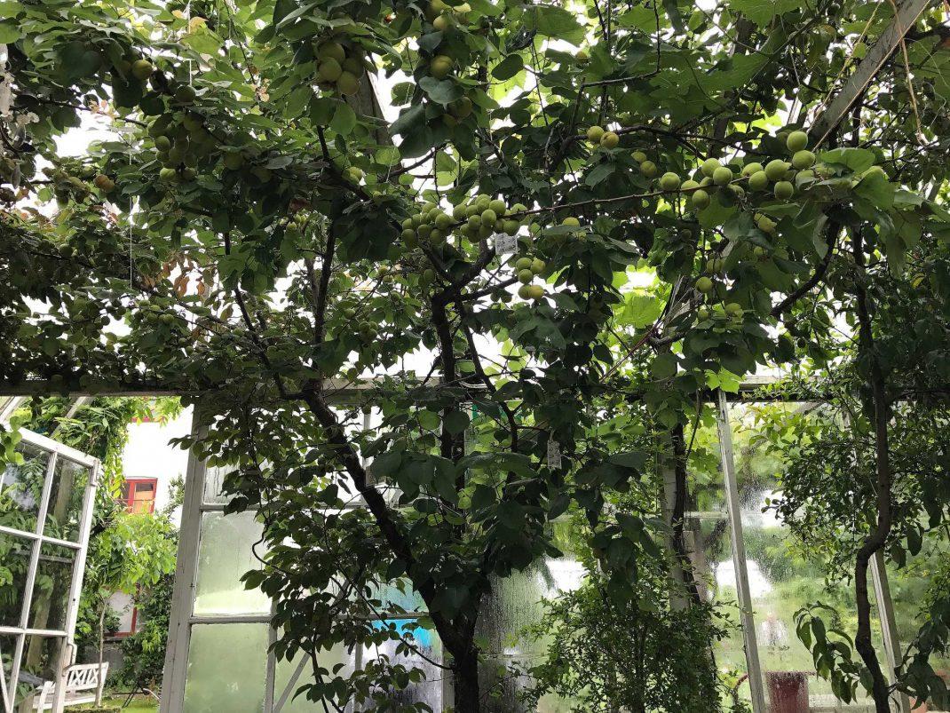 Ett stort aprikosträd breder ut sin krona i toppen av ett växthus.
