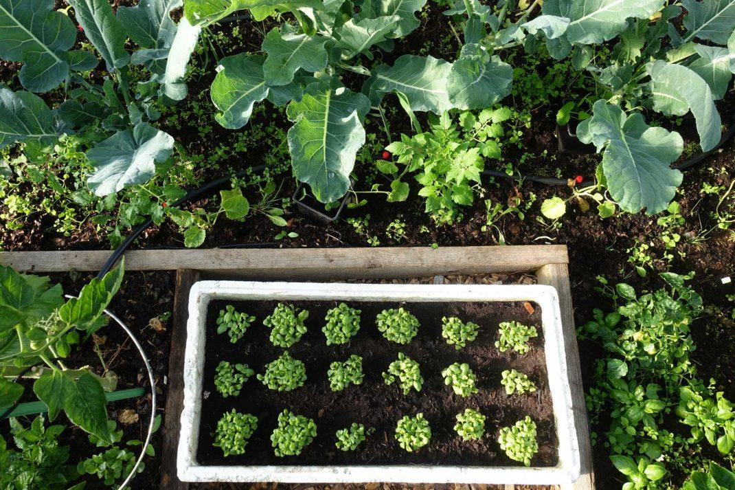 Grönsaker i tunnelväxthuset och en frigolitlåda på marken med små plantor i.