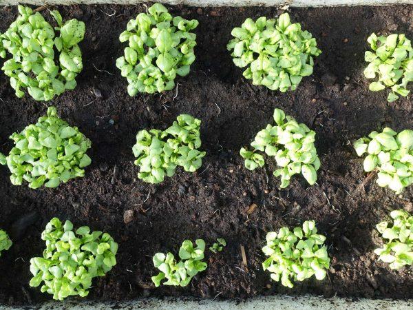 Små basilikaplantor växer tätt bredvid varandra.