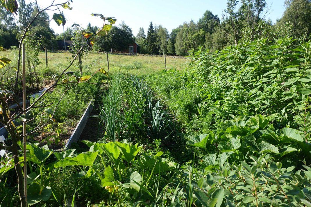 Bild på köksträdgården i full grönska.