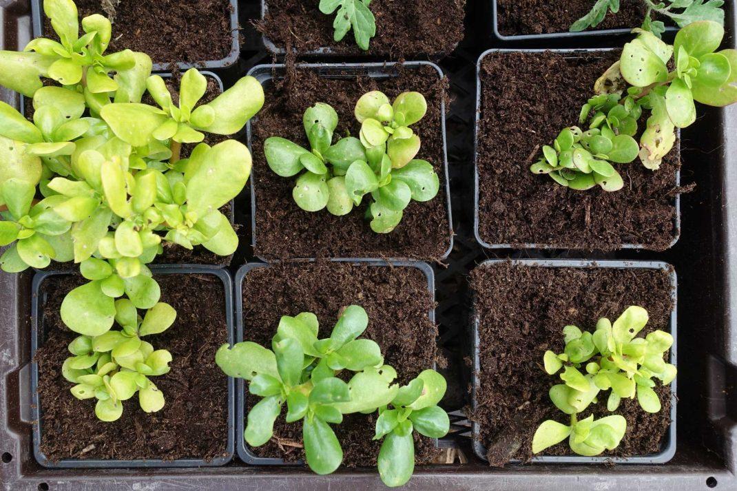 Sex plantor står bredvid varandra.