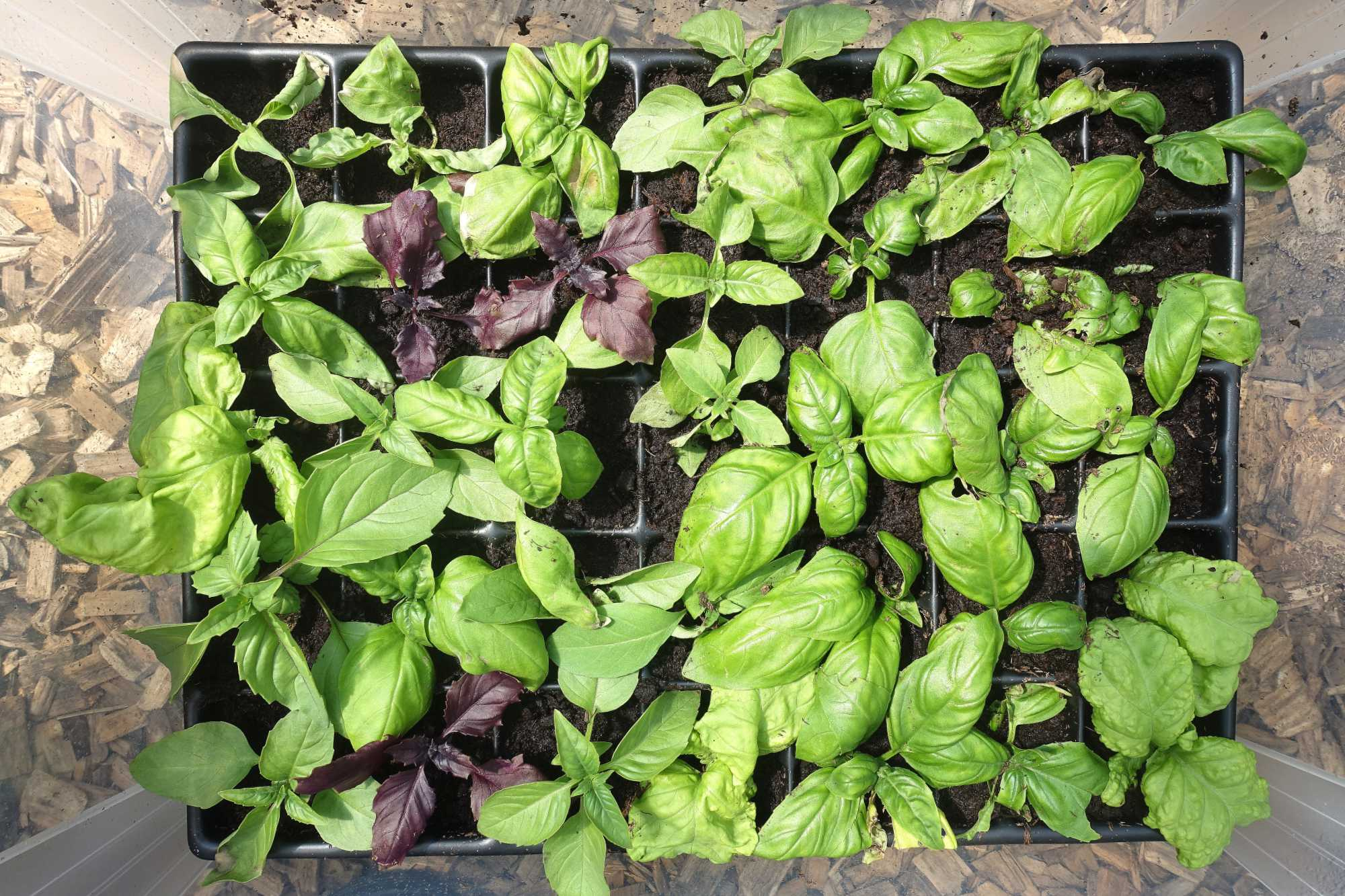 Plastback med sticklingar i. Plastic container with basil cuttings.