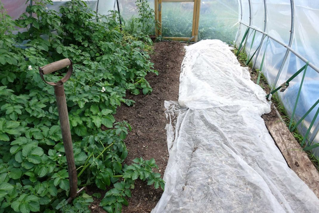 Inifrån tunnelväxthuset där potatis växer i ena bädden och den andra bädden är täckt med fiberduk. Growing vegetables in dry soil, one bed is covered with garden cloth, potatoes are growing in the other one.
