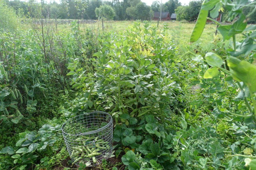 Bild på landet innan bondbönorna skördas.