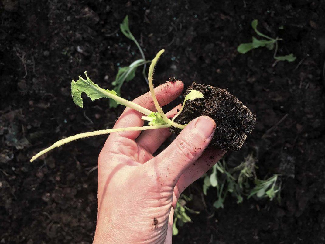 En bild på hårt ansatt kålplanta.