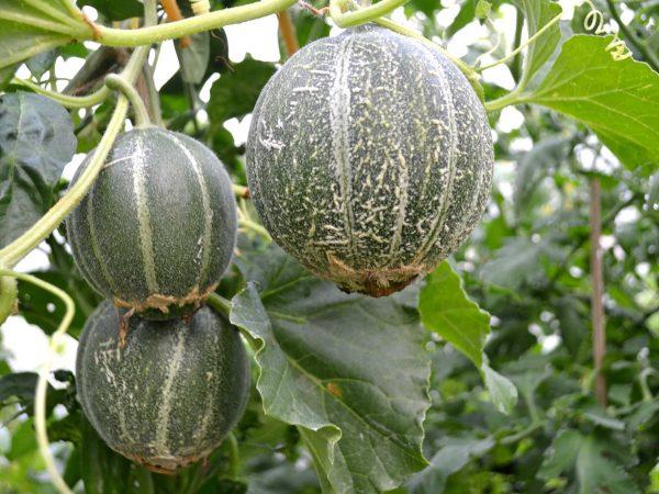 Närbild på tre meloner som hänger från plantan.