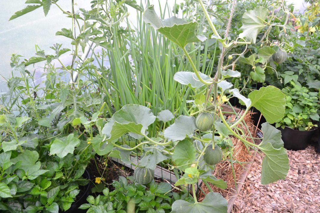 Helbild på melonplanta som växer i frodigt tunnelväxthus.