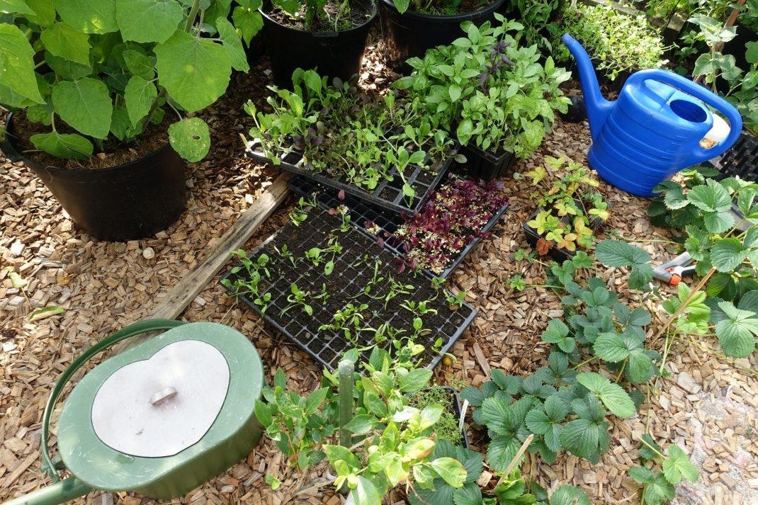 I tunneln trängs plantor som ska sättas ut. Barnen och jag kissar på hink och vattnar varje dag. I har otroligt frodiga plantor!