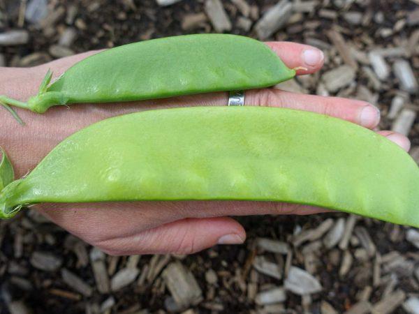 En hand med två sockerärter i olika storlekar. Den ena är drygt 15 cm lång.