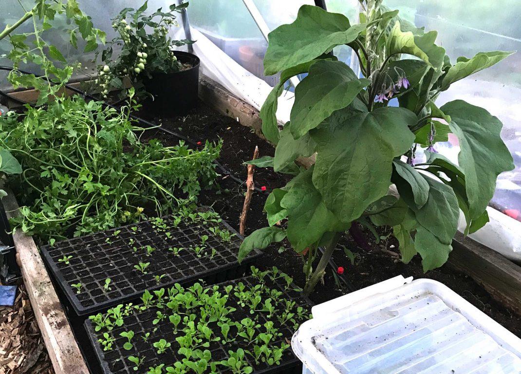 En bild på odlingsbädd med aubergine och mängder med plantor i pluggbrätten.