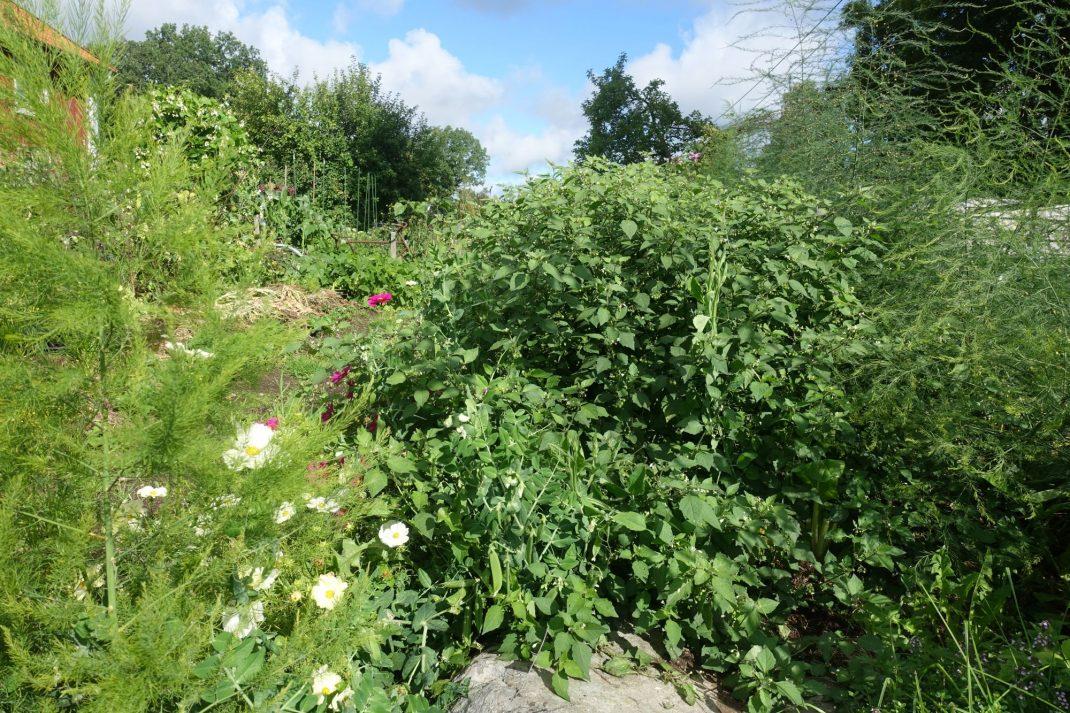 Det speciella bäret wonderberry växer över förväntan och ger användbara bär från stora buskar.
