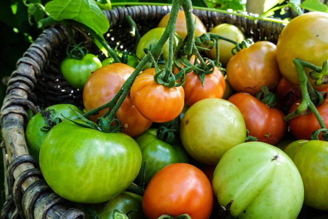 Tomater i en korg.