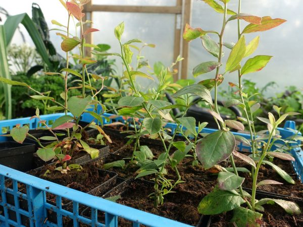 En back med vackert höstgrönröda små blåbärsplantor.