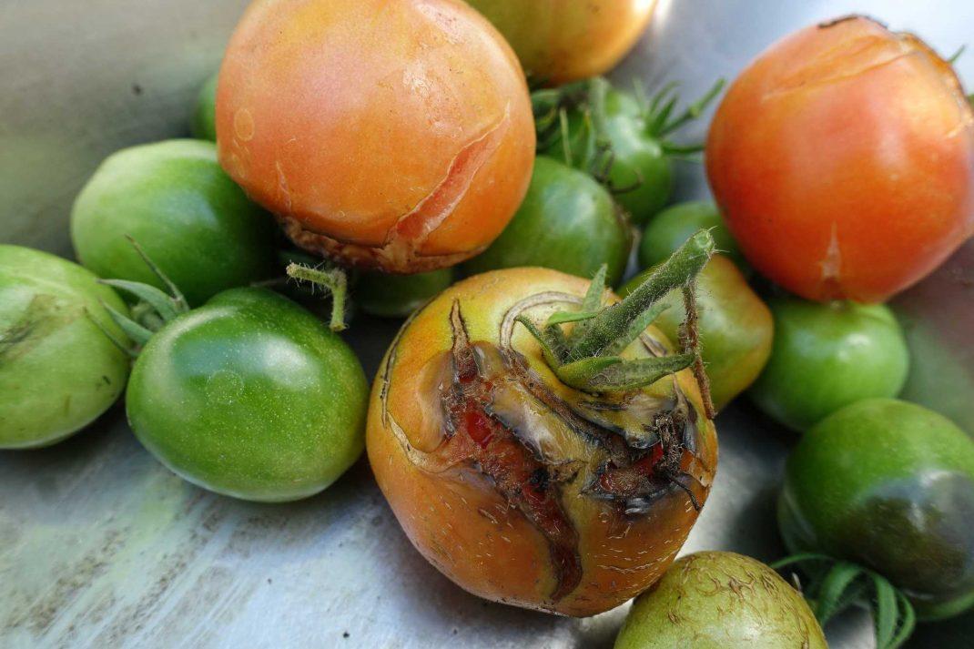 skruttiga tomater, både röda och gröna