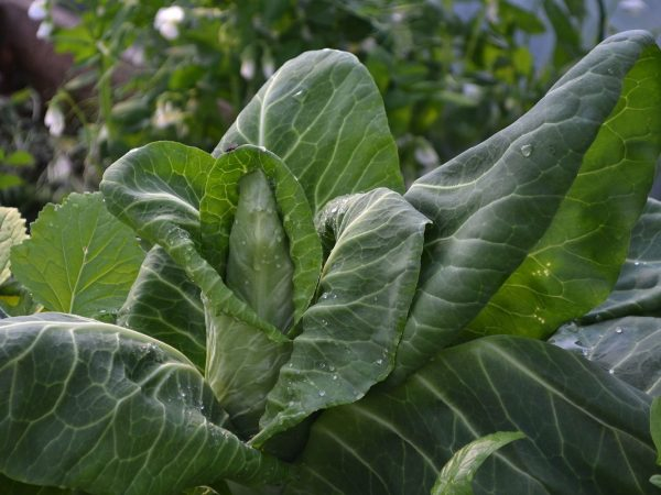 Grön, frodig spetskål i närbild