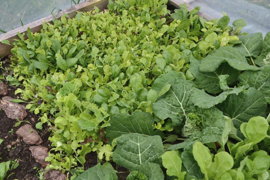 Early sowing, leafy greens