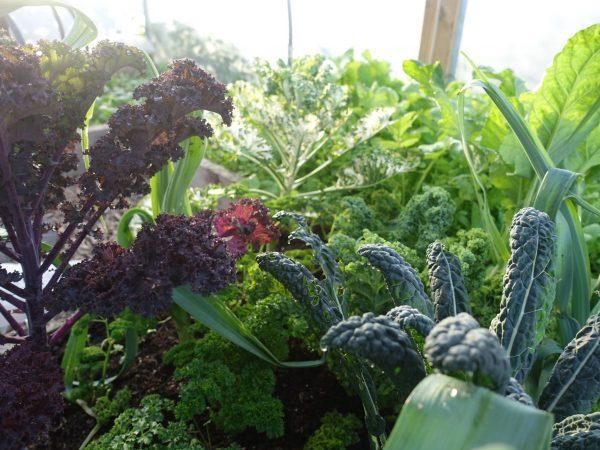 Bladgrönsaker i tunnelväxthuset