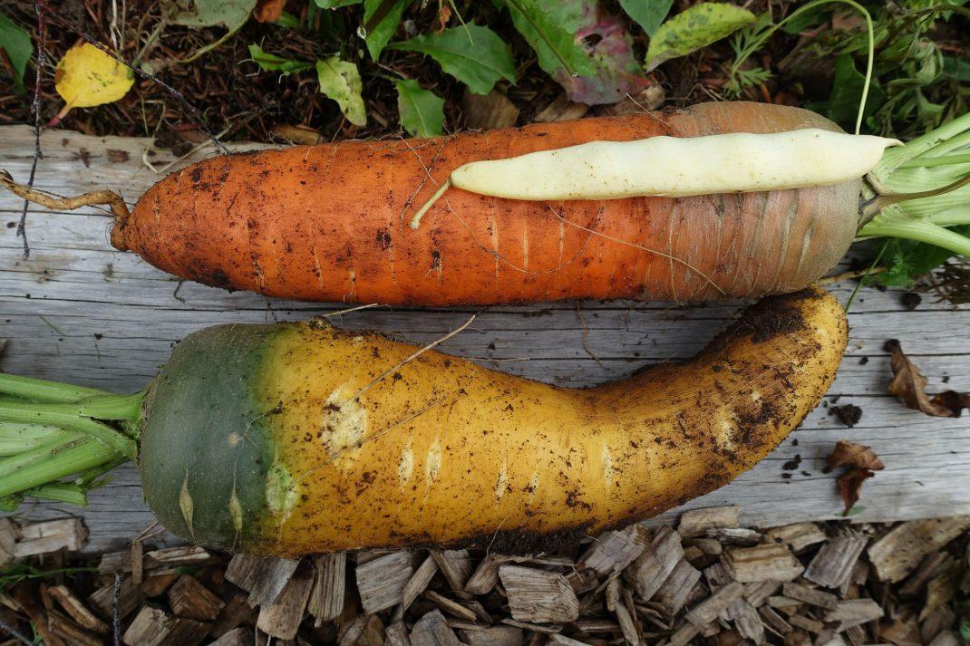 Morötter med en vaxskärböna på. Fertilizing carrots, large carrots and a bean pod
