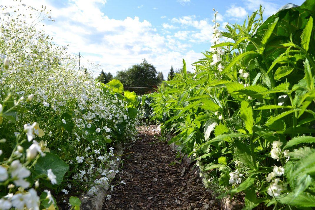 sommarblommor växer längs kanten av en gång, som är täckt med träflis.