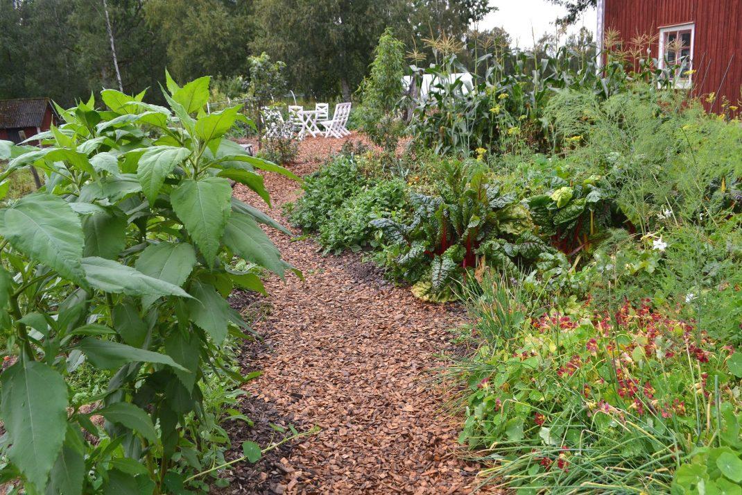 Köksträdgården i full prakt i augusti, med gångar av flis.