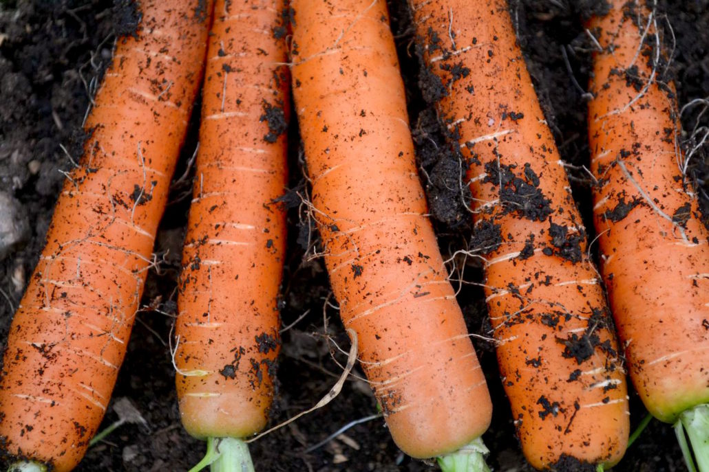 sow in November, carrots