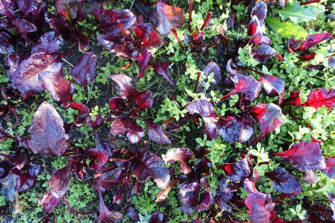 En tät plantering av röda blad, sedd ovanifrån.