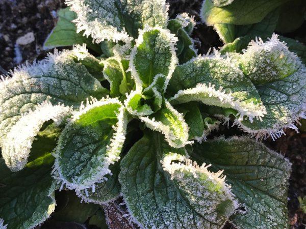 En frusen planta vintersallat.