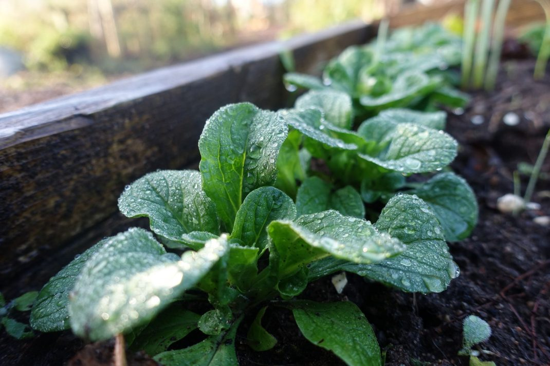 Vegetables after they freeze, a beautiful green lamb's lettuce plant.