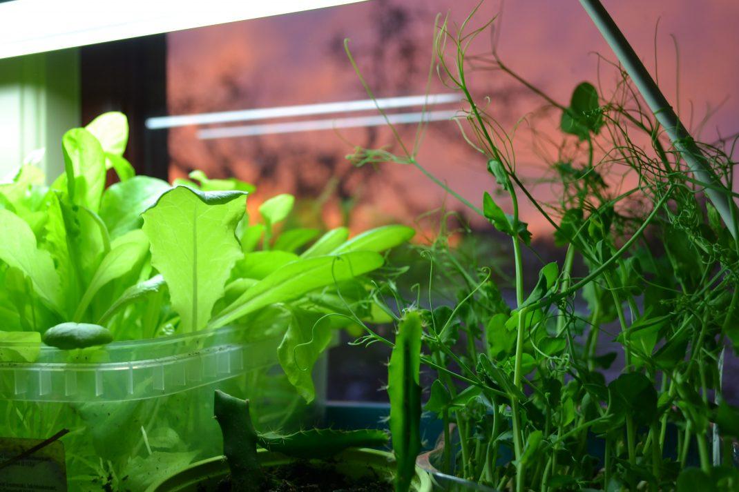 Späda sallatsblad och krispiga ärtskott växer under belysning i ett fönster.
