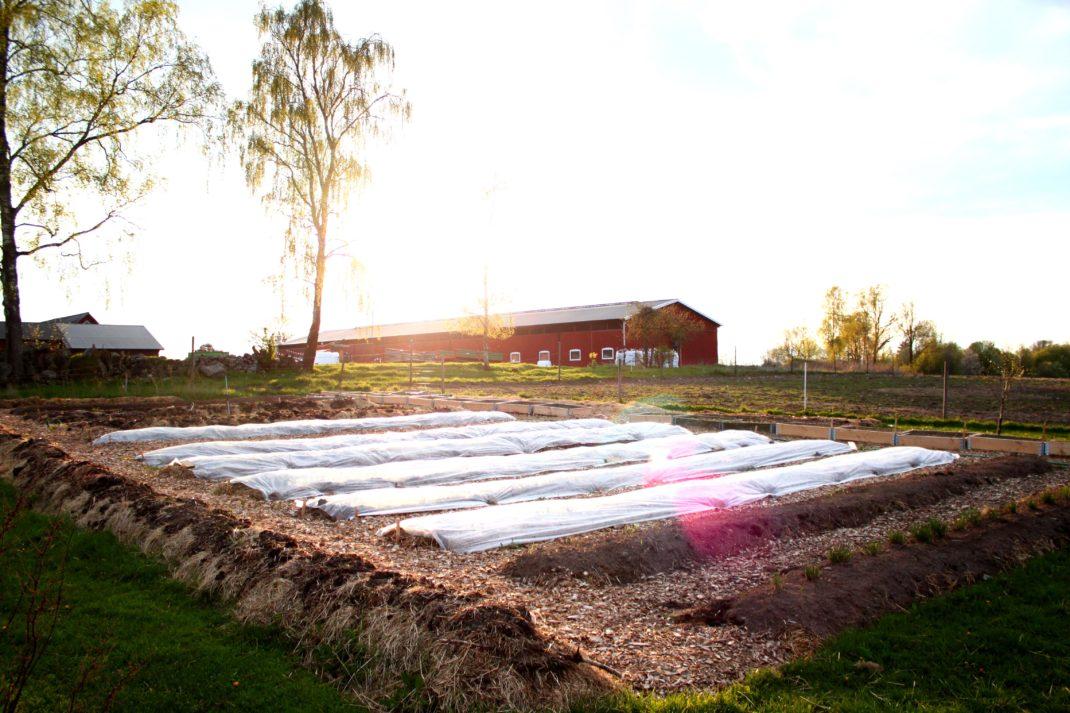 Odlingsbäddar täckta med vit duk framför en röd byggnad på Rinkaby gård.