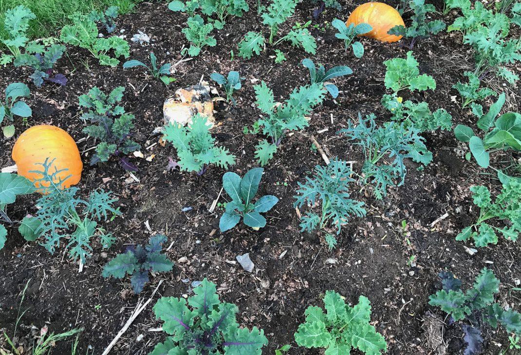 kålplanteringen med små kålplantor.