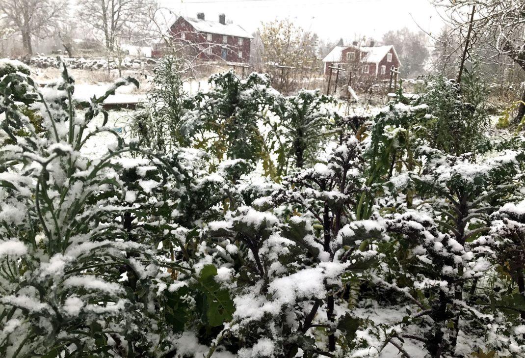 Grönkålsplanteringen täckt av snö.