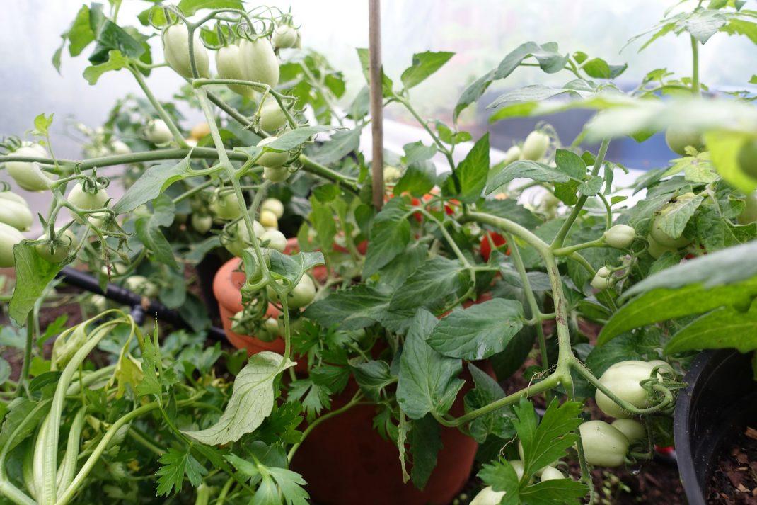 Tomatplanta i kruka.