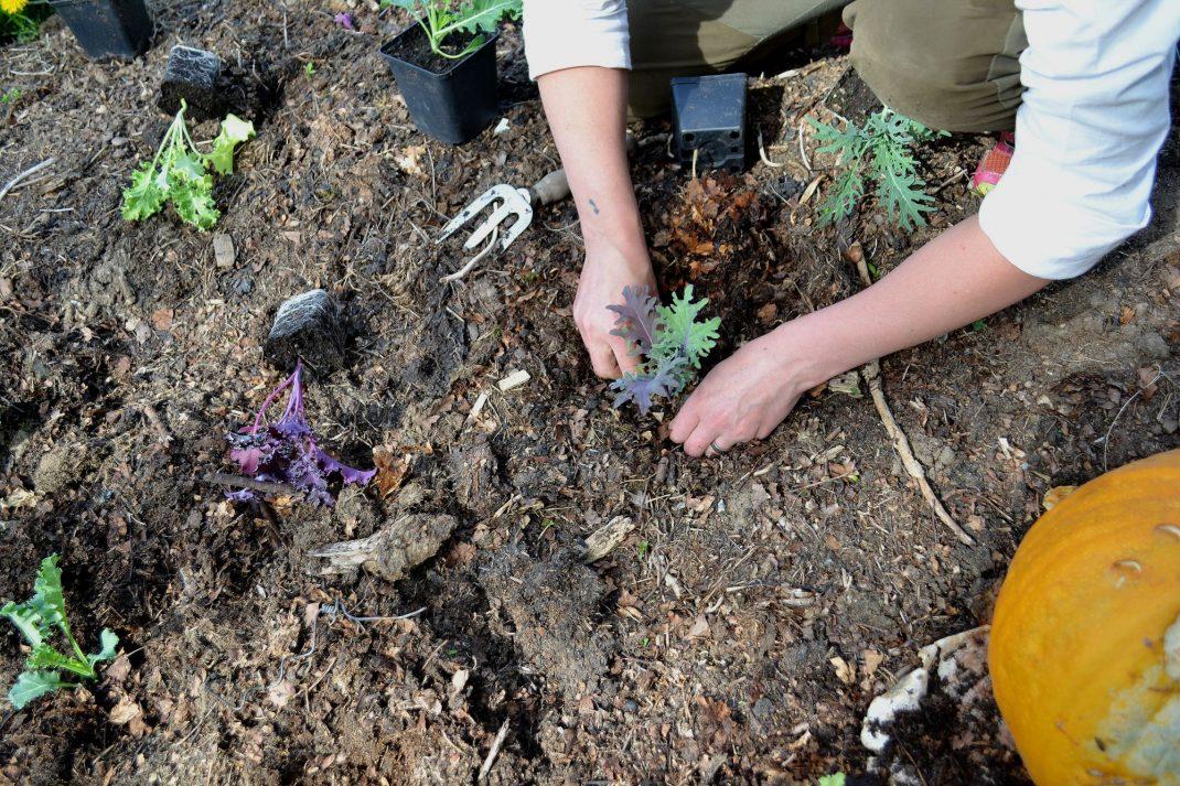 Sara planterar kål.
