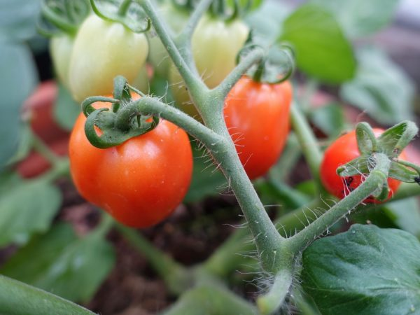 Färgglada tomater på buskig planta.