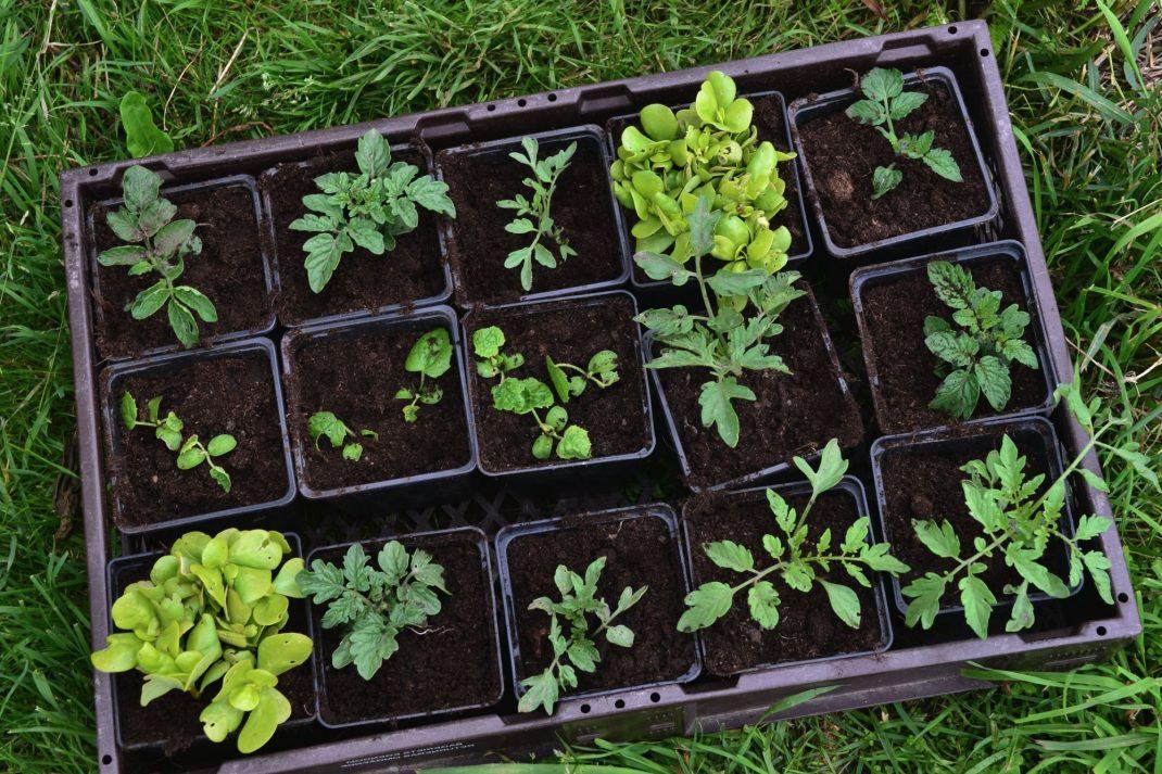 En back med femton plantor av tomat och trädgårdsportulak.