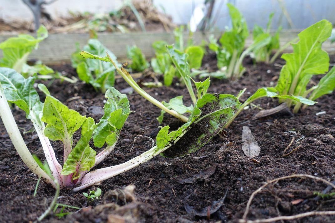 Mangold som står tätt på planteringsplatsen.