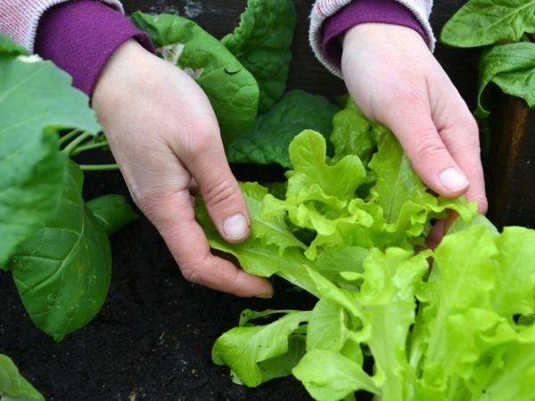 Två händer håller i ljustgröna och väldigt krispiga sallatsblad över mörk jord.