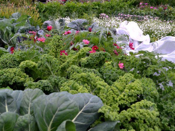 Grönkål och rosenskära tillsammans i köksträdgården.