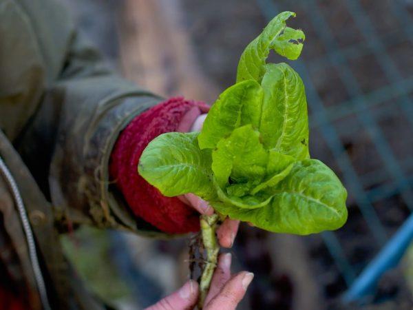 Sara håller en sallatsplanta i handen.