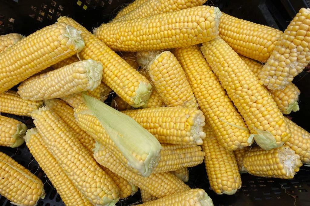 Närbild på massa gula majskolvar i en back.