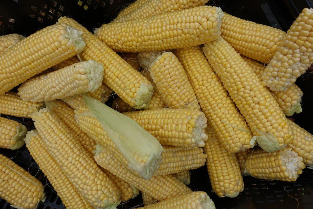 läckert gula majskolvar