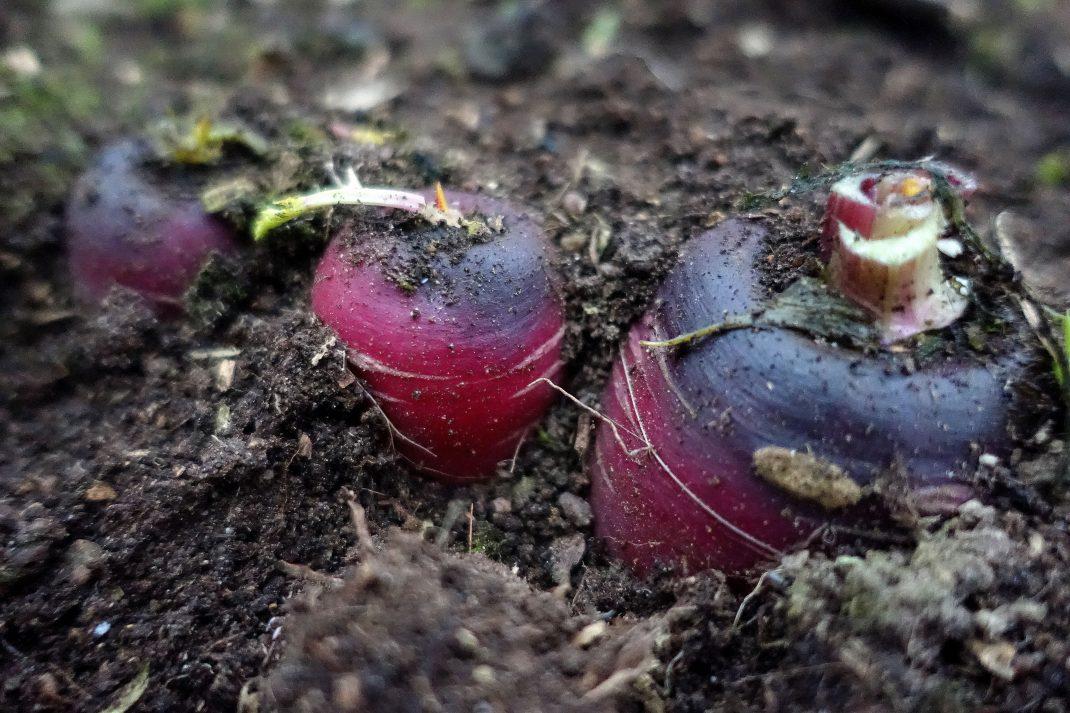 Vackra lila morötter sticker upp ur jorden.
