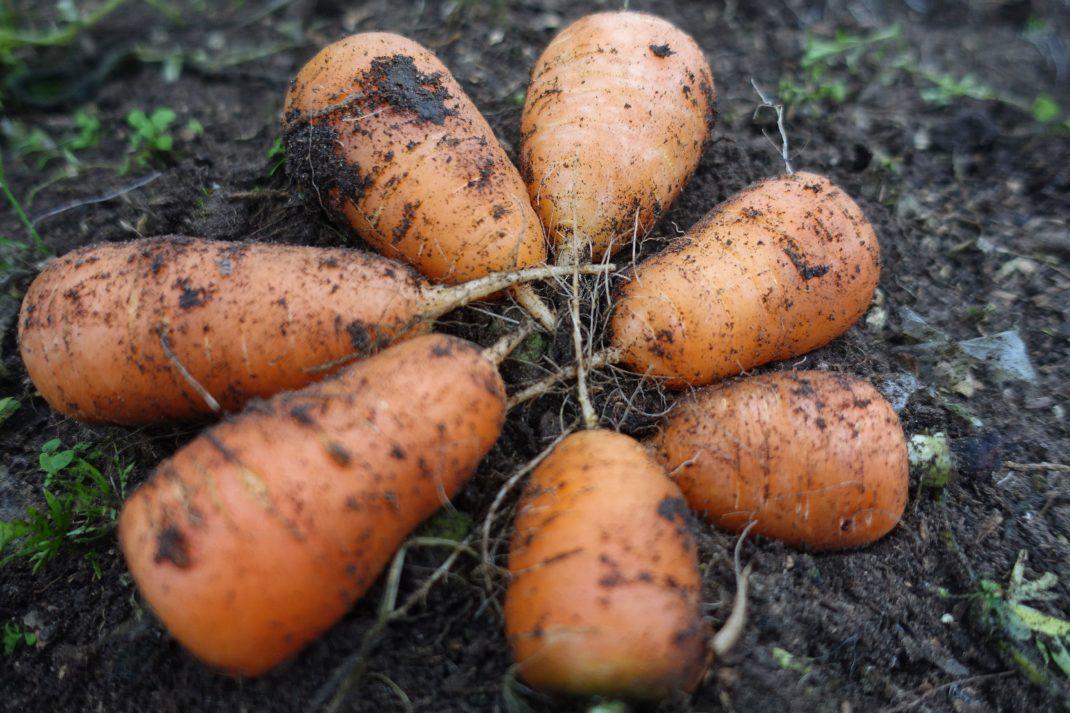 Morötter ligger i en cirkel på marken.