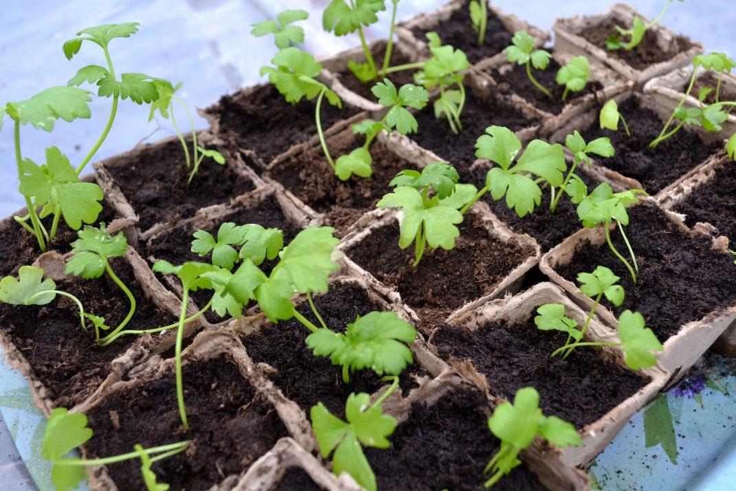 En bricka med små plantor av rotselleri.