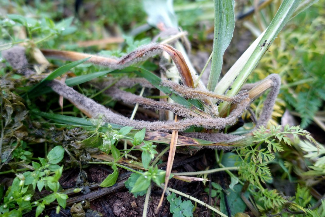 Bladd och ogräs, varav en del ser ut att ha en grå päls - gråmögel.