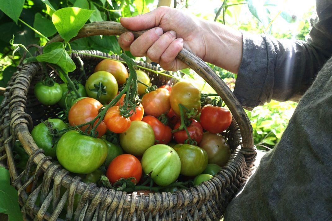 Tomater i en korg